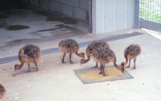Ostrich chicks feeding