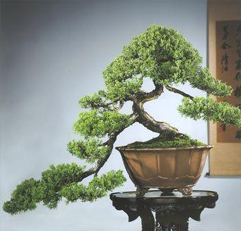 bonsai modelo kengai