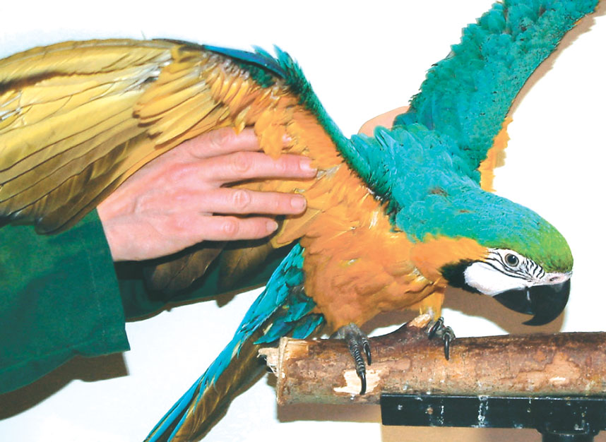 Bringing the bird to a perch will assess the ability to place the limbs properly