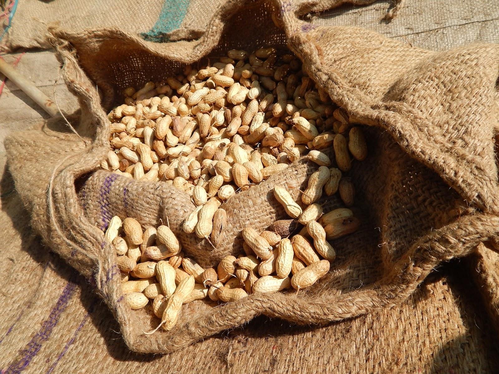 opérations culturales post-récoltes de l'arachide: obtenir de bonnes gousses pour faciliter la conservation