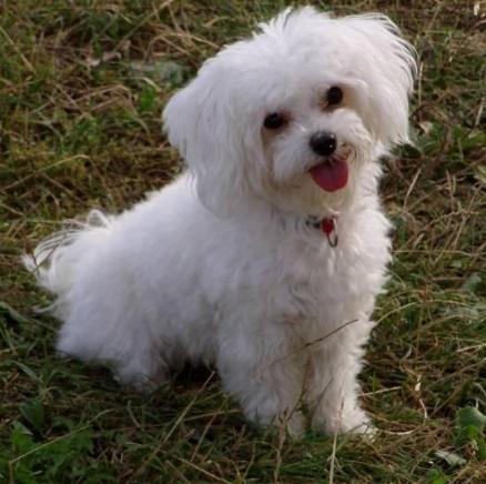 Ответы Mail.ru: К чему снится маленькая белая собачка болонка, которая  радовалась при встрече со мной? я хотела её забрать домой во сне!