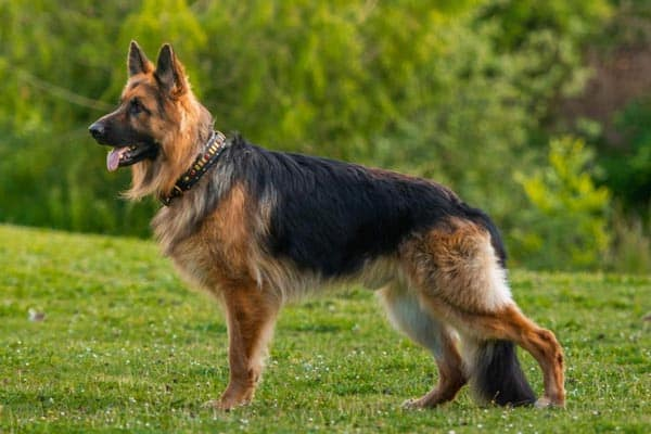 can-you-shave-a-german-shepherd