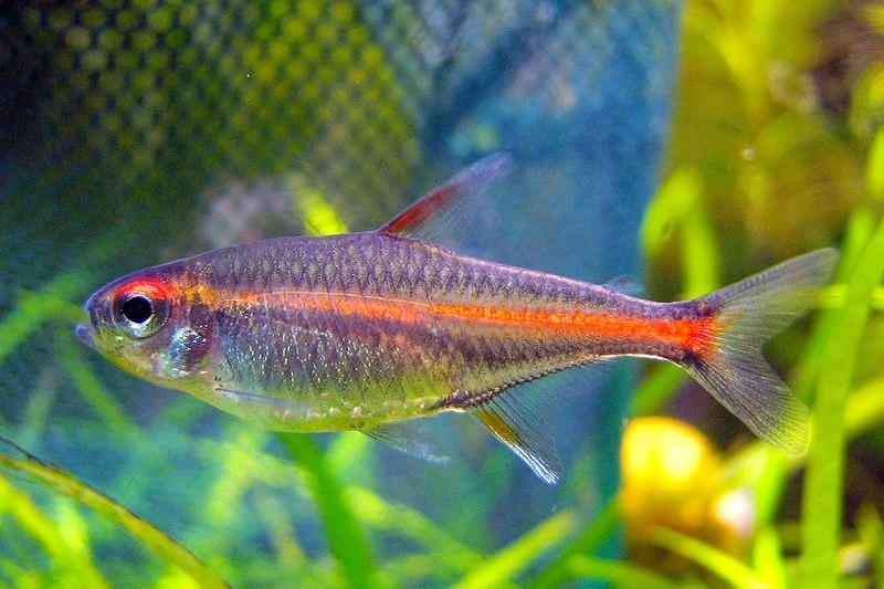 File:Tetra Glowlight cropped.jpg
