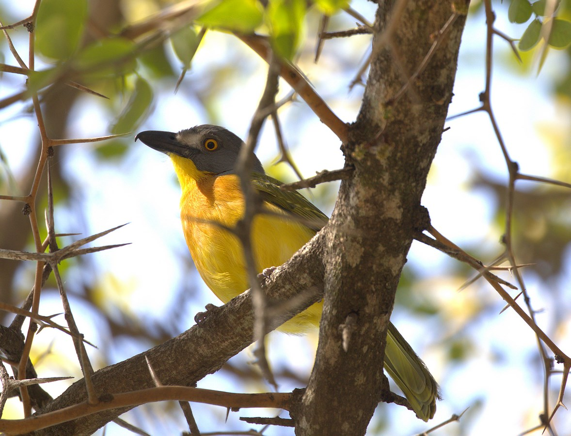grey-headed bush-shrike (Copy).jpg