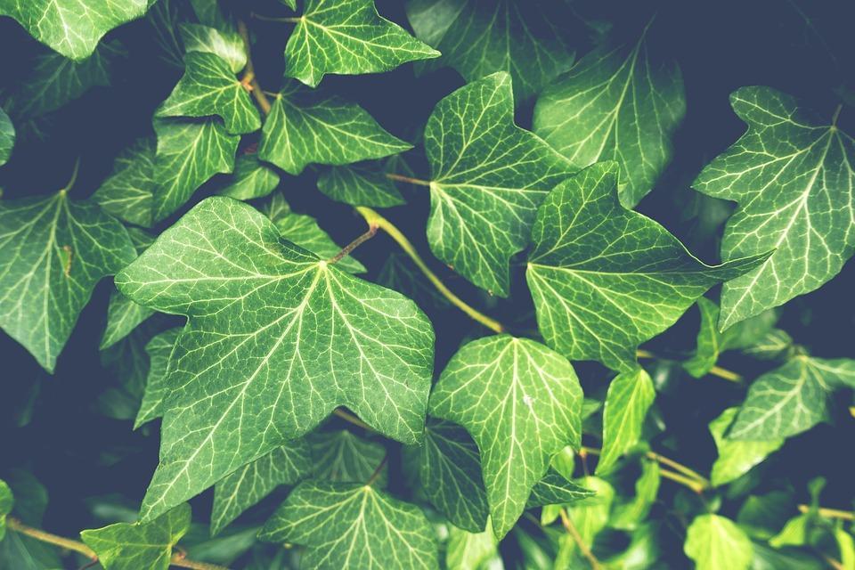 Ivy, Planta, Jardín, La Naturaleza, Verde