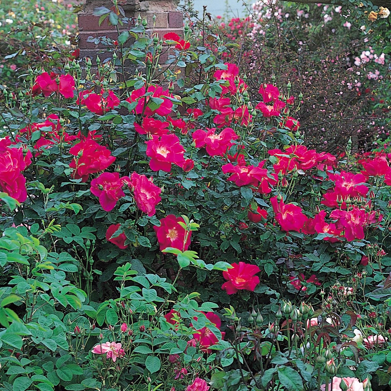 роза RED COAT ROSE