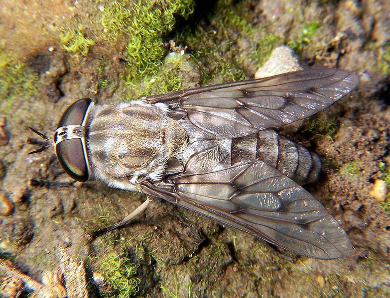 File:Horse fly Tabanus 2.jpg