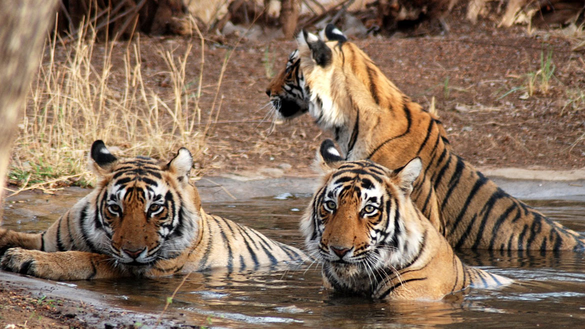 Tigers resting in water and quenching their thirst hence best adventurous place for tiger safari