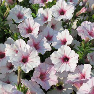 Image result for petunia vista silverberry