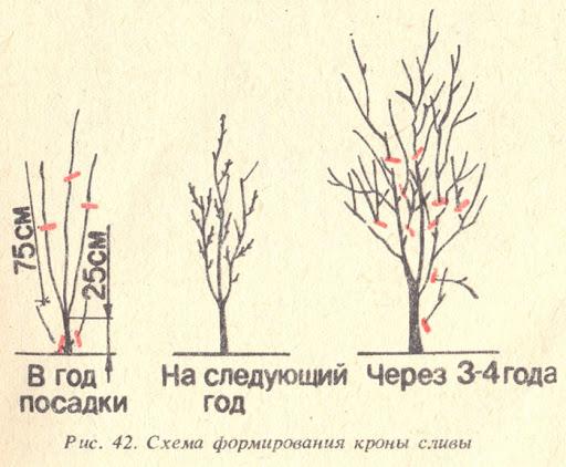 Как обрезать молодую сливу (саженец) весной: инструкция для начинающих садоводов