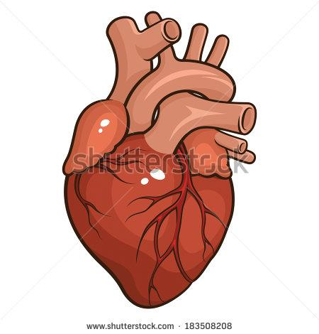 C:\Users\supian\Pictures\stock-vector-vector-illustration-of-a-human-heart-isolated-on-a-white-background-183508208.jpg