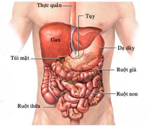 Kết quả hình ảnh cho các cơ quan trong ổ bụng