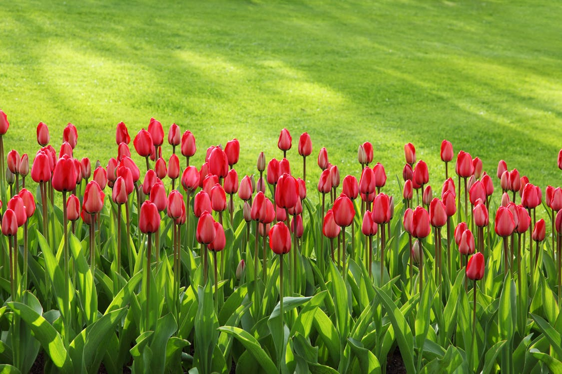 tulips-bloom-blossom-colorful-47313.jpeg