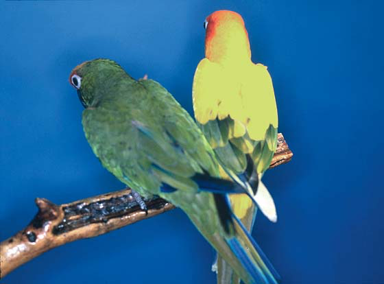 A sun conure and a gold-capped conure fed the same formulated diet