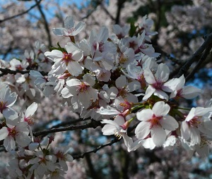 Cherry-Blossoms-full-bloom_square