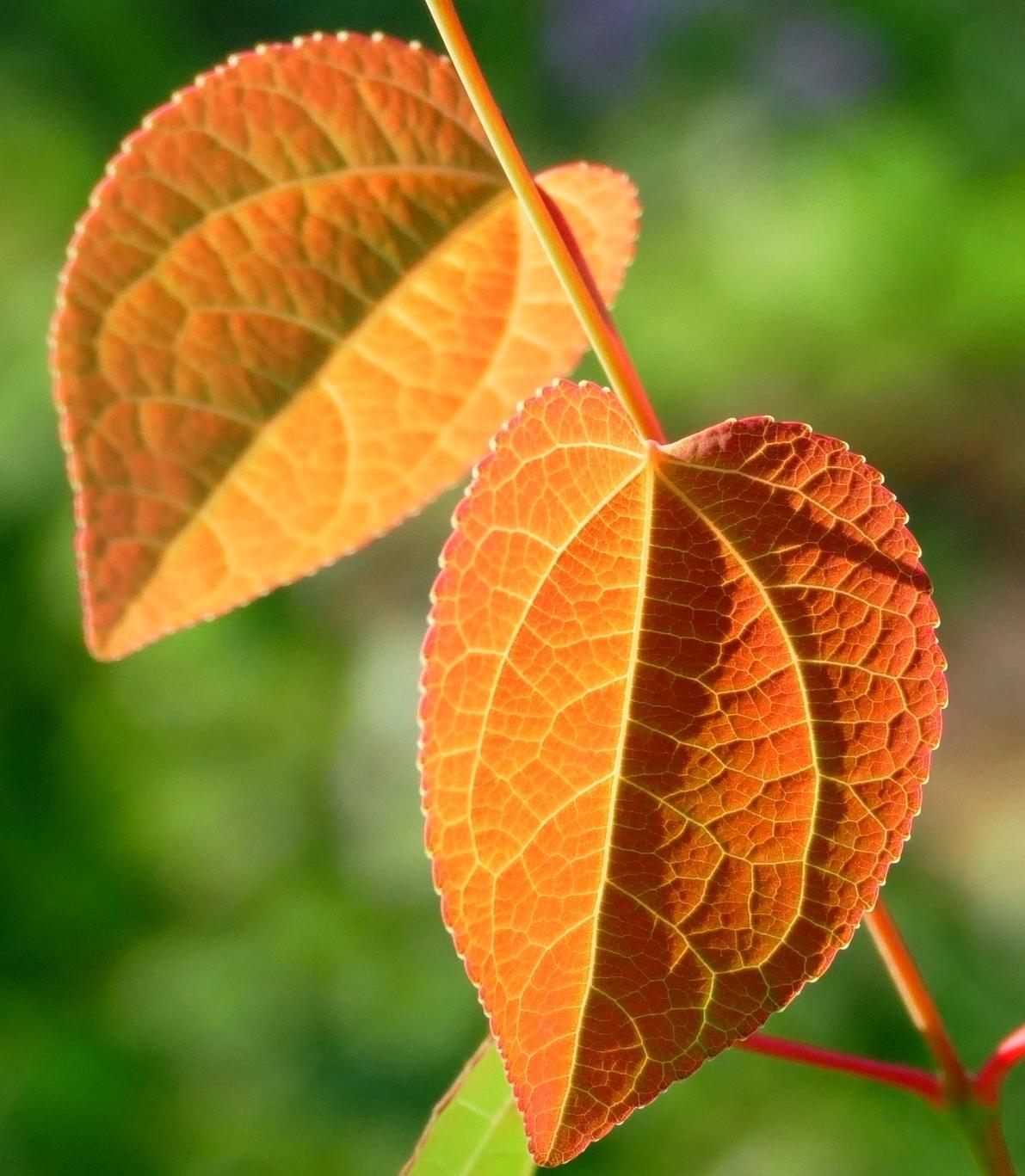 Листья багряника японского