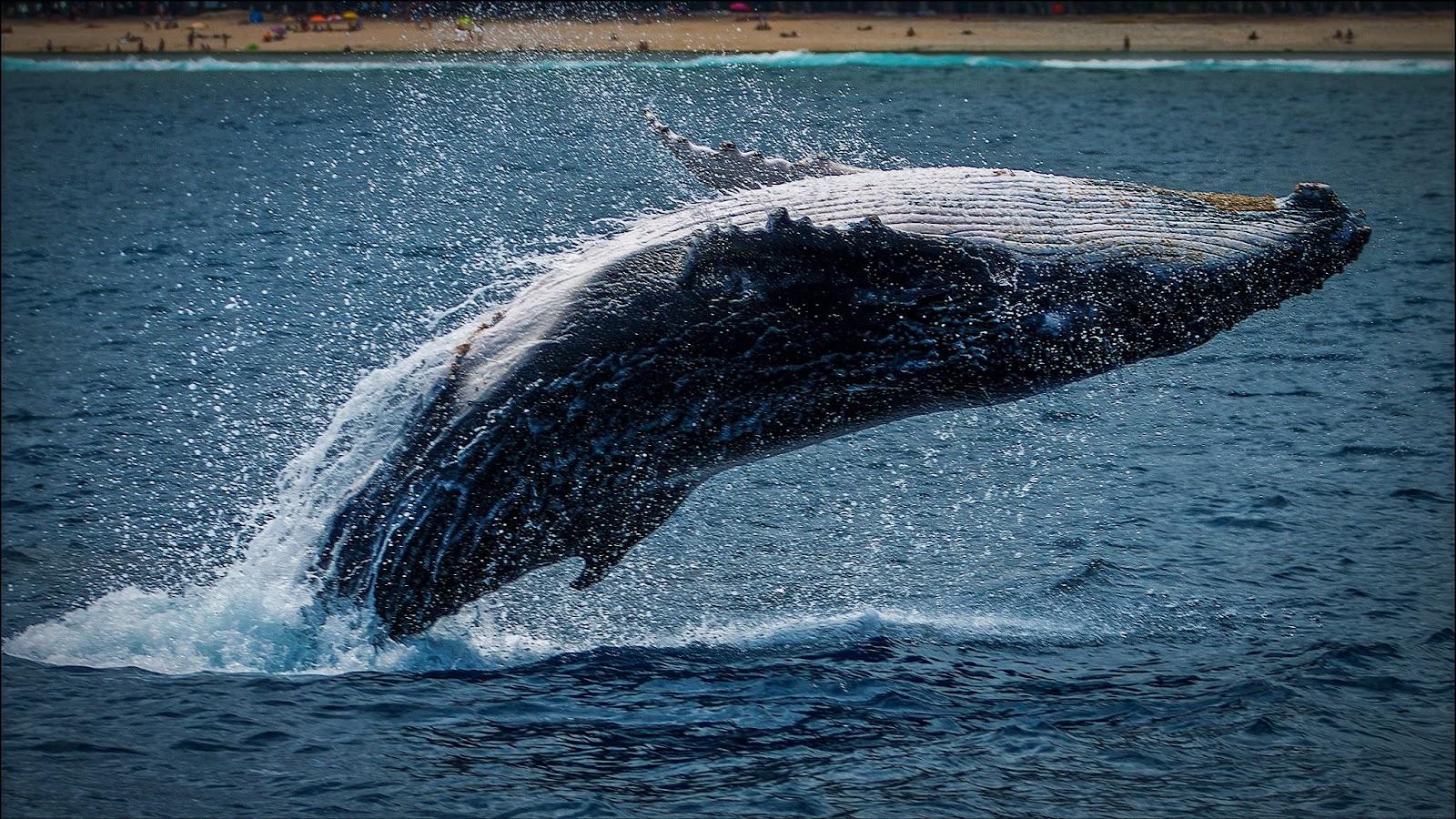 Wale leiden besonders unter Unterwasserlärm.