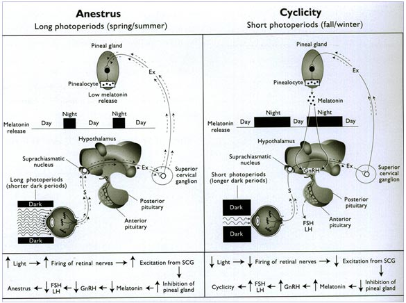 Effect of the photoperiod on the short-day breeders. During long period of light, melatonin causes release of GnRH and during short photoperiods, the excitatory pathways are less active (image from: Senger PL. Pathways to pregnancy and parturition Current Conceptions, Inc.; 2nd edition (2003); 368; ISBN-10: 0965764818).