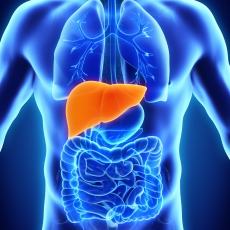 A photo of a digital body with an emphasis on the liver