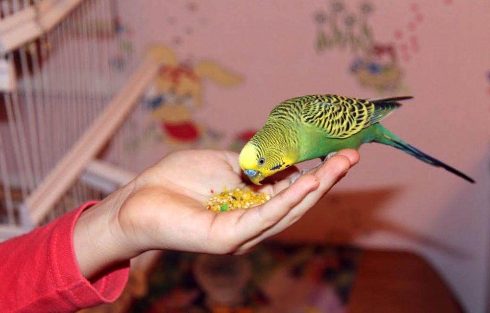 Попугая не привередливы в кормах