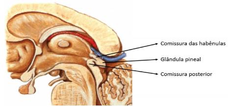 Estruturas do epitálamo