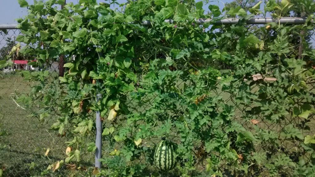 c:\users\Elmetra\Downloads\watermelon on fence 2.jpg
