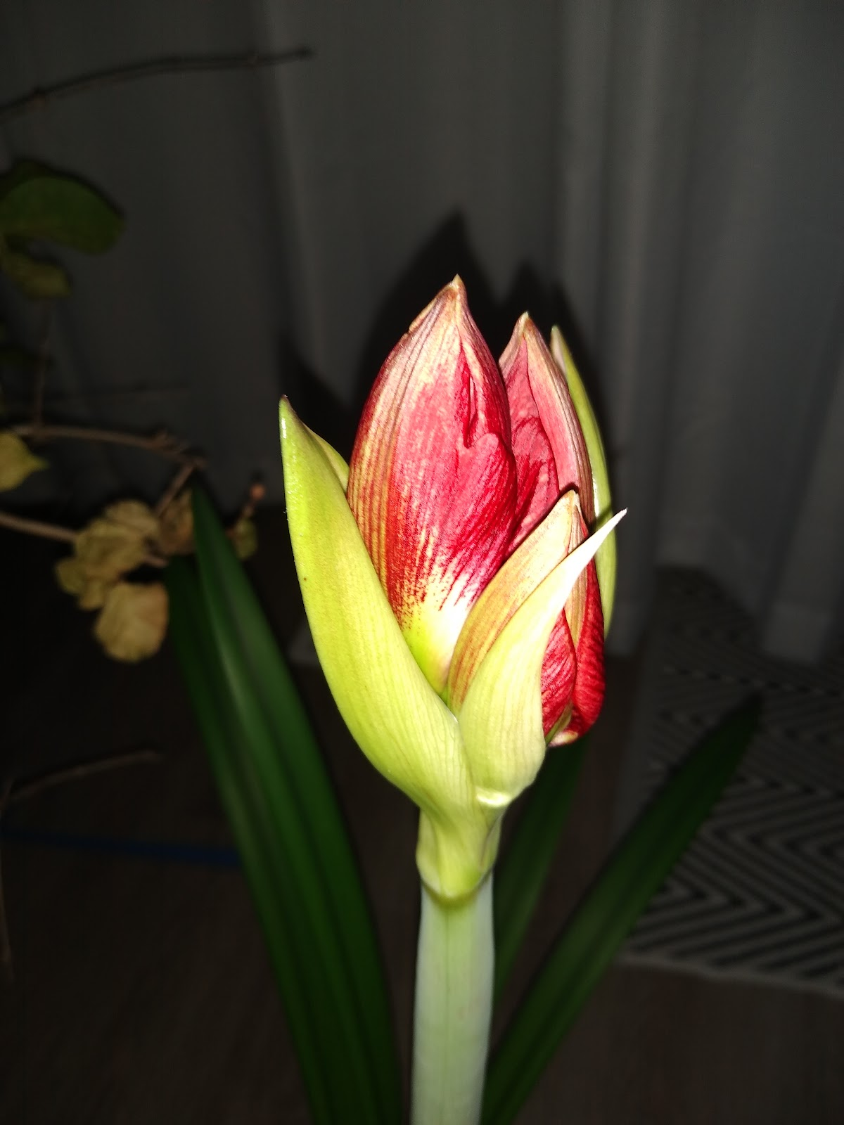 red amaryllis about to bloom