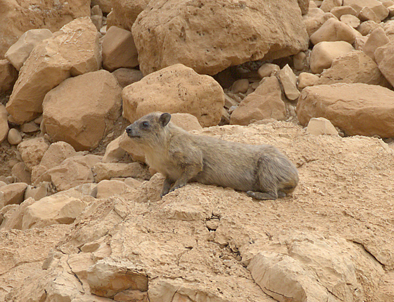 rock hyrax small.jpg