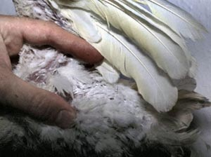 Dystrophic down feathers and wing feathers due to Psittacine Beak and Feather Disease (PBFD).