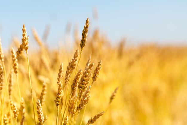 Как сдать зерно на элеватор транспортер в курске