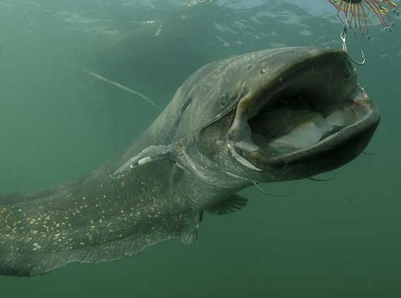 4.Mơ thấy cá trê kỳ dị