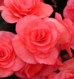 Image result for begonia solenia dark pink