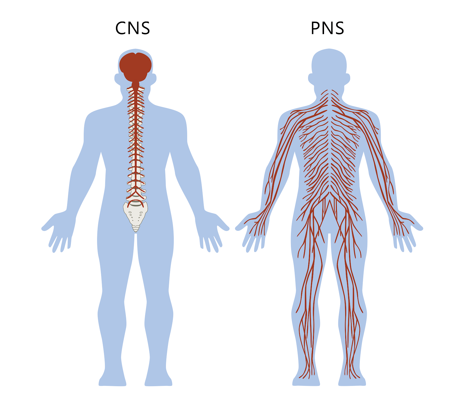 Nervous System The Partnership In Education