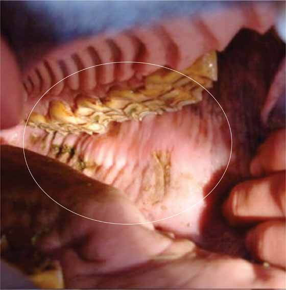 Using a full-mouth speculum and a bright light, abrasions on the buccal mucosa are seen adjacent to sharp points on the buccal margins of the maxillary cheek teeth (circled).