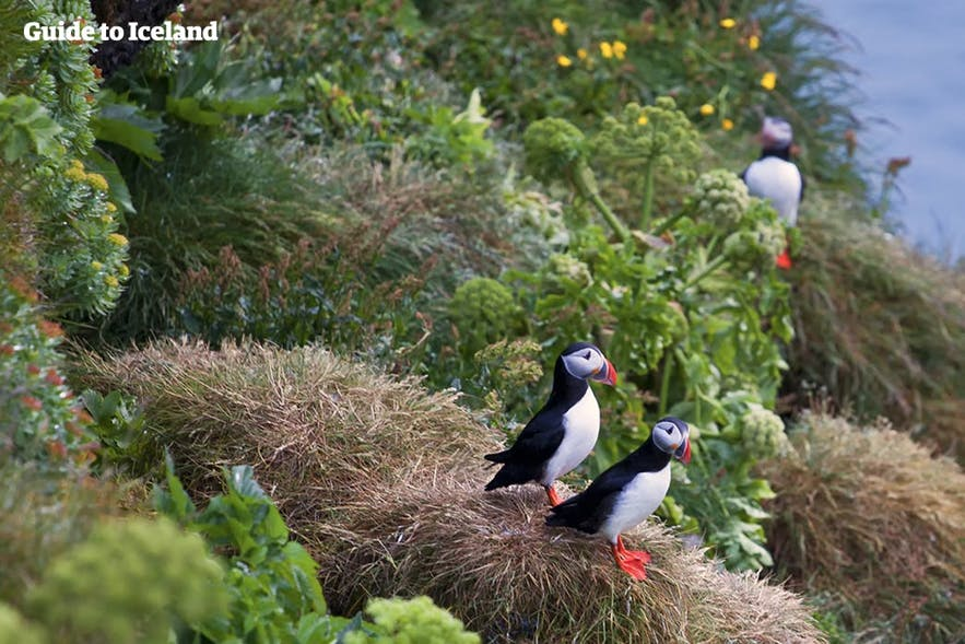 Puffins are nesting at Latrabjarg in the summer