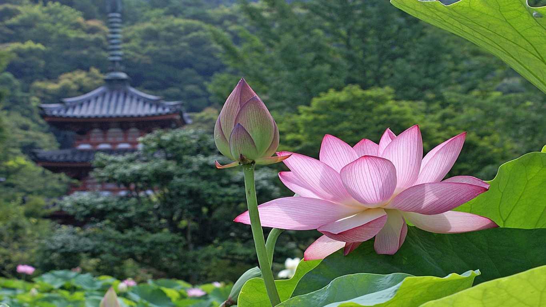 http://hinhanhdep.pro/content/uploads/2014/09/hinh-anh-hoa-sen-dep-nhat-048-9.jpg