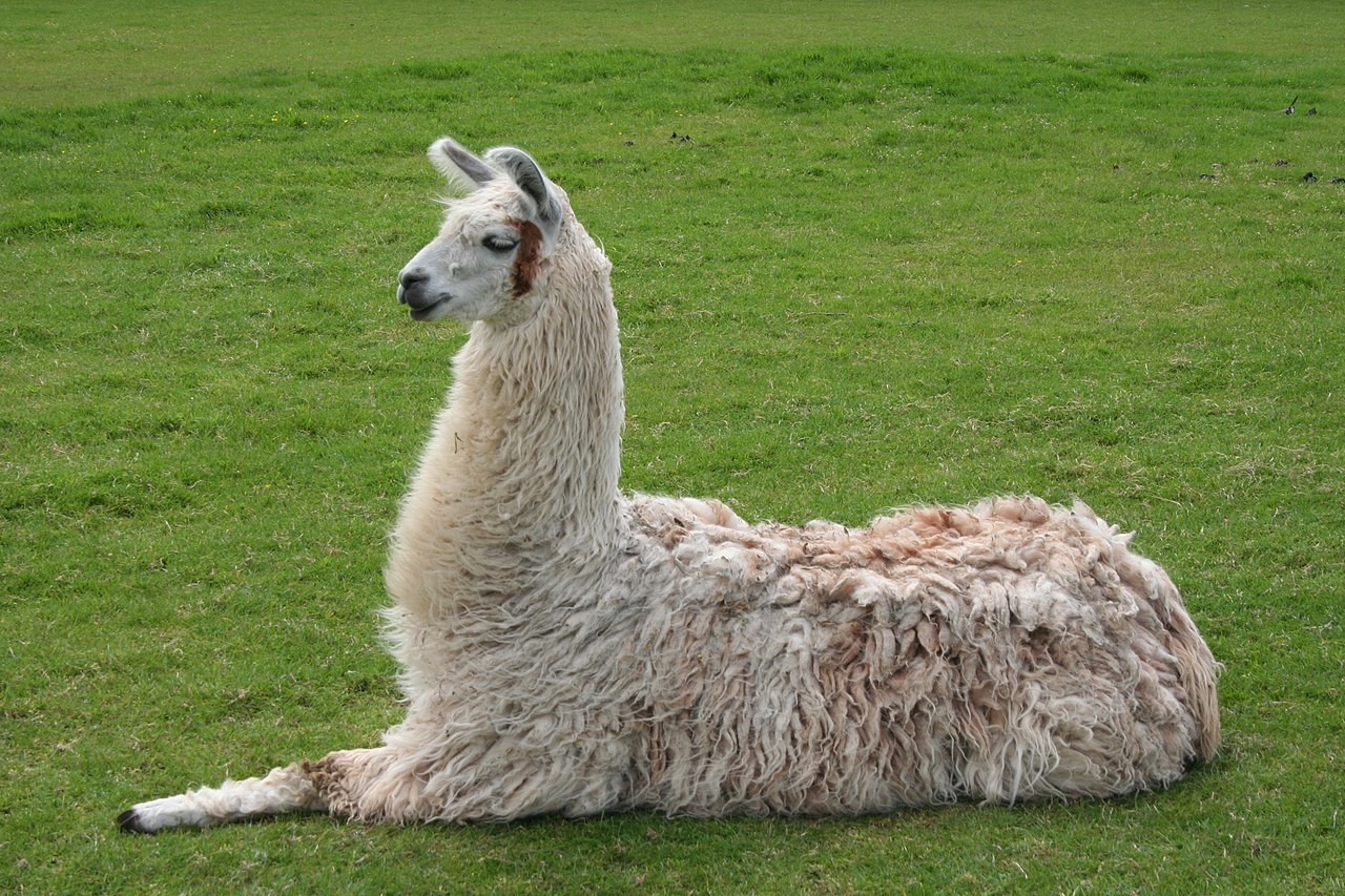 File:Llama lying down.jpg - Wikimedia Commons