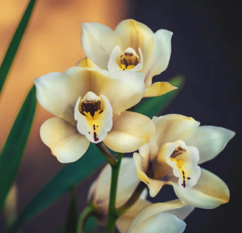 fresh orchids online