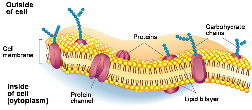 Image result for the structure of the cell membrane