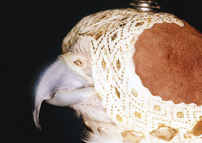 Saker falcon with a long deformed beak after the molting season