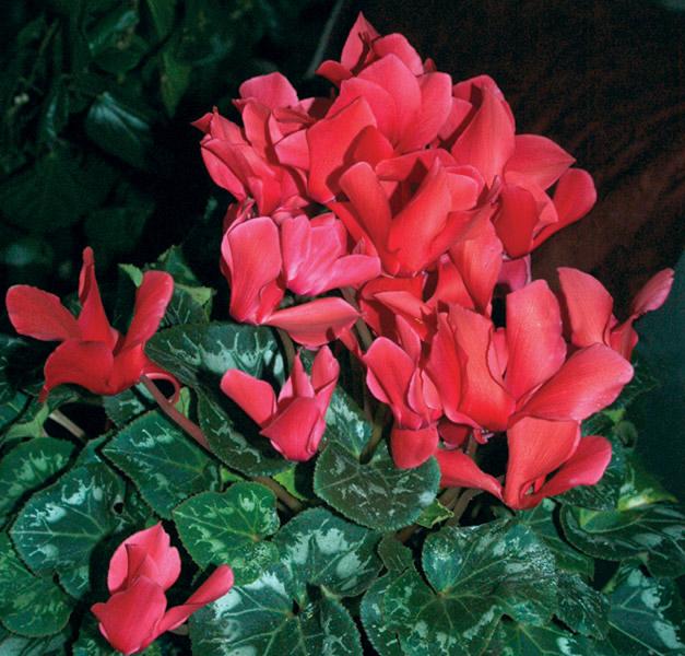 Cyclamen persicum hybrid.