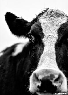 krowa a.jpg