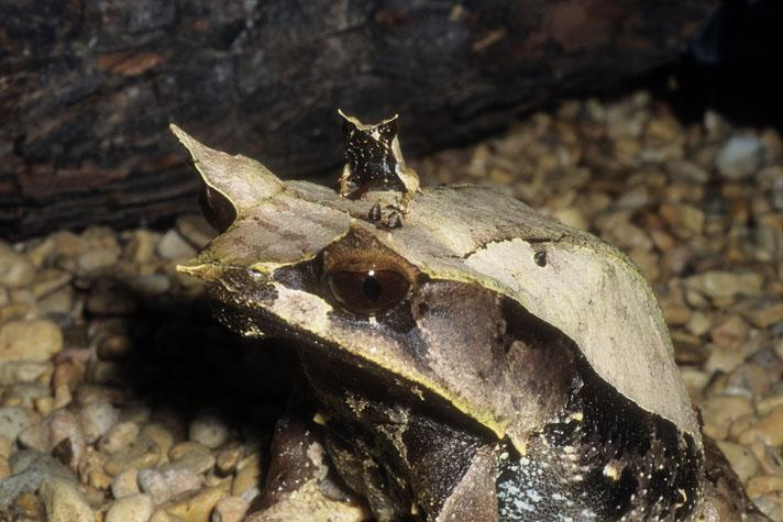 Image result for malayan horned frog