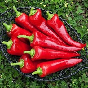 Attractive, smooth-skinned fruits with thick walls. Tall plants with upright habit are covered in fruit. Italian peppers are delicious traditionally fried in olive oil and sprinkled with shredded parmesan cheese. Open Source variety bred by Frank Morton. Start inside in Feb-March.