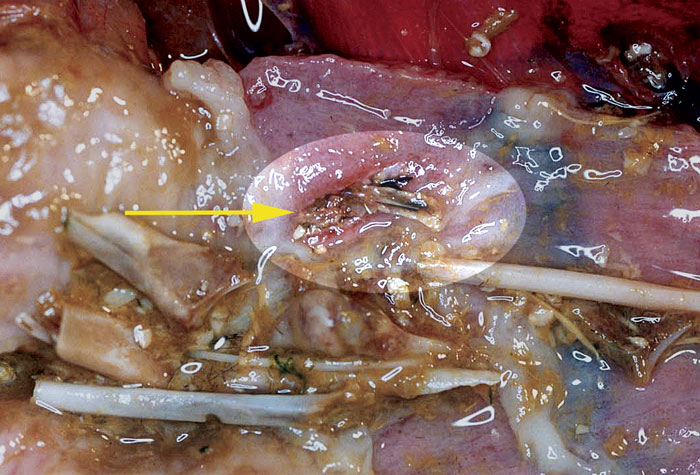 A unusual case of a penetrating wound on the wall of the gizzard of a saker falcon caused by a sharp, bony splinter