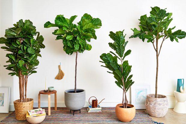 6. ต้นไทรใบสัก (Fiddle-leaf Fig)