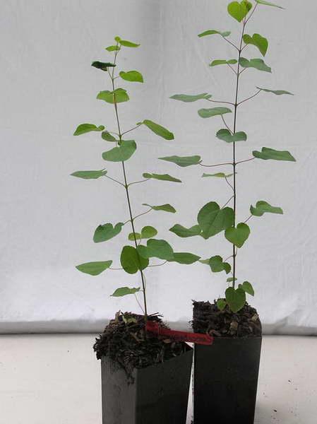 Саженцы японского багряника
