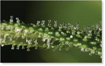 Bild von Trichomen, Tröpfen gefüllt mit Cannabinoiden