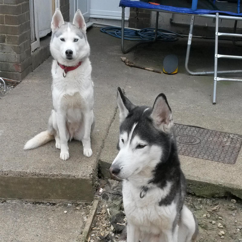 BorrowMyDoggy Siberian Husky pup and mum