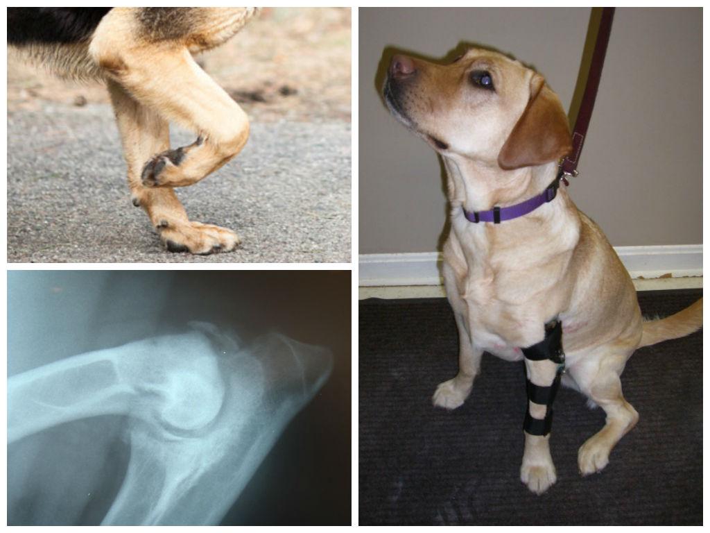 Болезни тазабедренного сустава у собак делают ли операции по замене коленного сустава в санкт-петербурге
